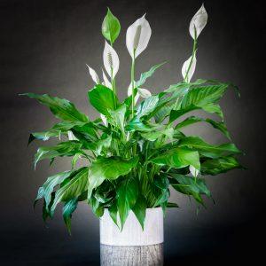 Plantes_Louis_XV-2