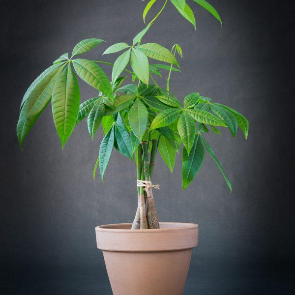 Plantes_Louis_XV-11